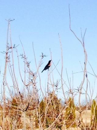 blackbird feb 22 2014