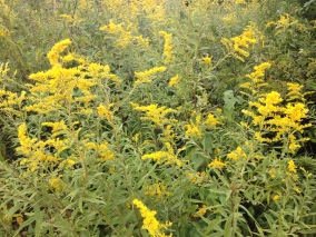 Photo by Monica R. Ashbaugh, 9/18/14 Goldenrod Hedgerow