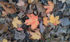 Photo by Monica R. Ashbaugh, 2013 Autumn Leaves