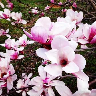 Photo by Monica R. Ashbaugh, 3/24/15 Spring Magnolia
