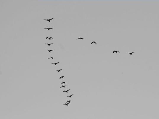 flocking_geese