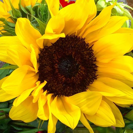 sunflower-sept-10-2016